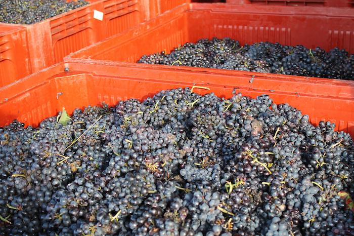 醸造所の前には収穫されたばかりのブドウが次々運び込まれる