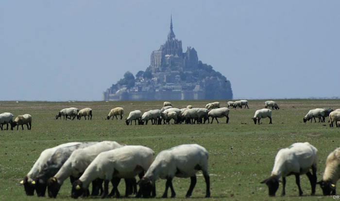 agneau-mont-stmichel